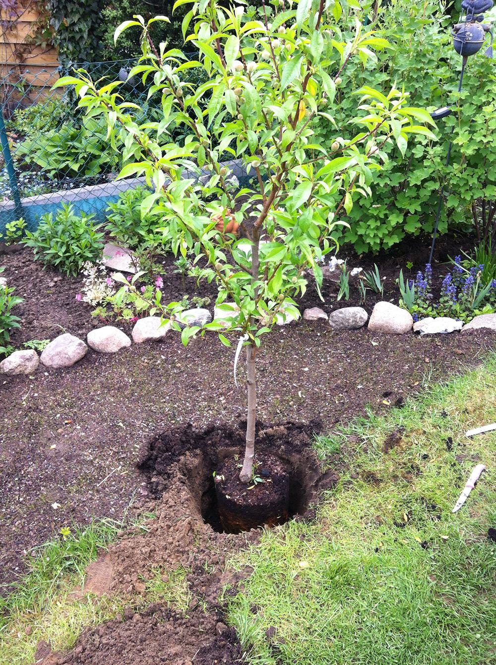 pfirsichbaum pflanzen kleingarten ideen. Black Bedroom Furniture Sets. Home Design Ideas